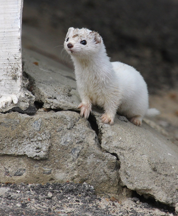 Image: wildlife-thrive-Chernobyl-weasel