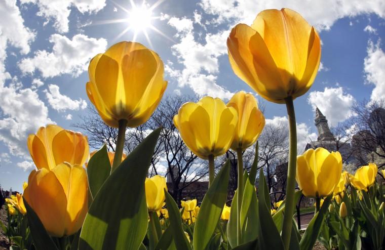 Image: Tulips