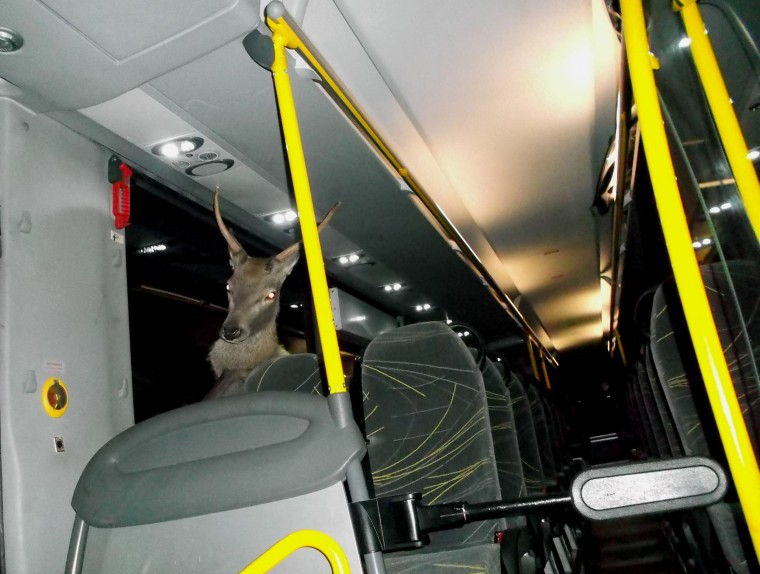 Image: A young stag that crashed through the windshield and onto a bus