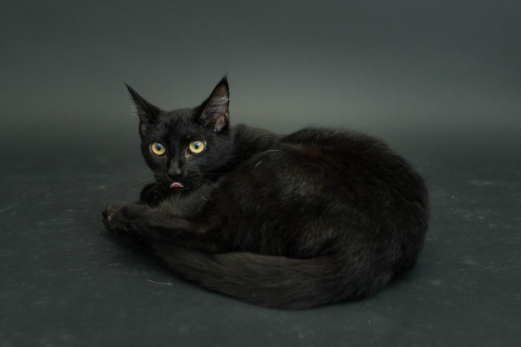 Pretty black cat has its picture taken at a Los Angeles shelter