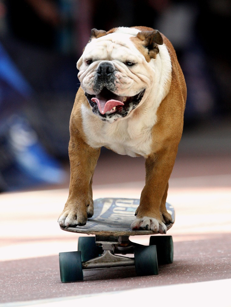 "Tillman , the ""skateboarding bulldog,""  entertains a crowd at Ridgmar Mall in Fort Worth, Texas, Tuesday July 20, 2010."