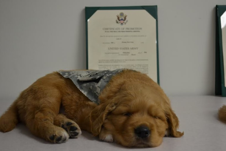 Warrior Canine Connection breeds and trains puppies to become man's best friend and service dog