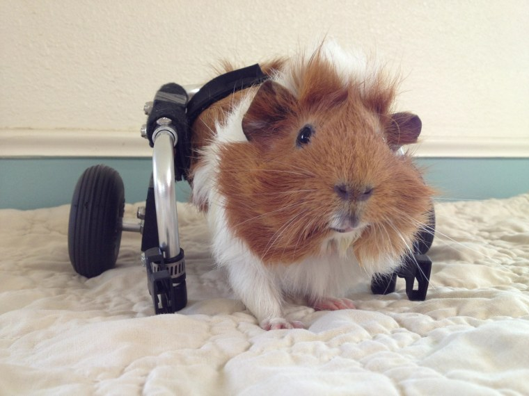 Guinea pig who uses wheelchair