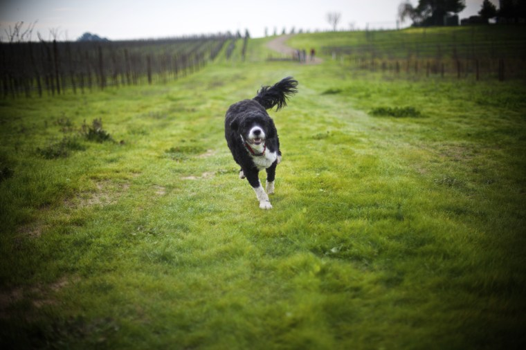 Trained dogs move about the orchard, sniffing for truffles.