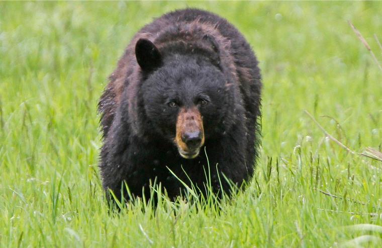 Image: A black bear walks across a meadow