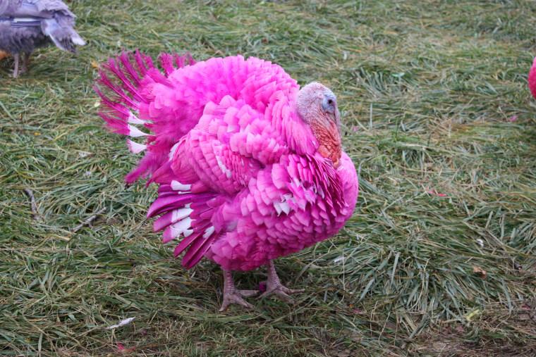 Colored turkeys