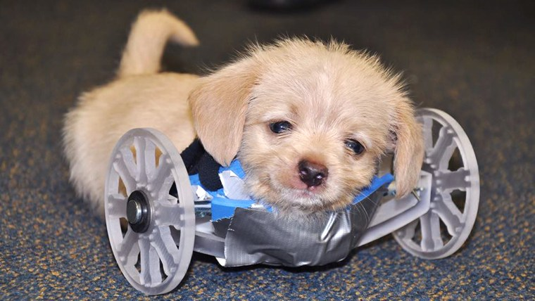 Because this little guy is so small, adustments need to be made to his new wheels. — with Karen Pilcher.