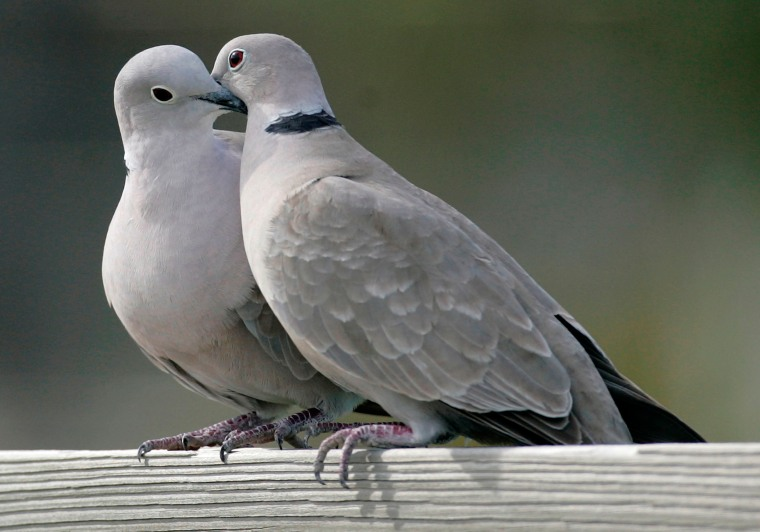 Image: Two turtle doves