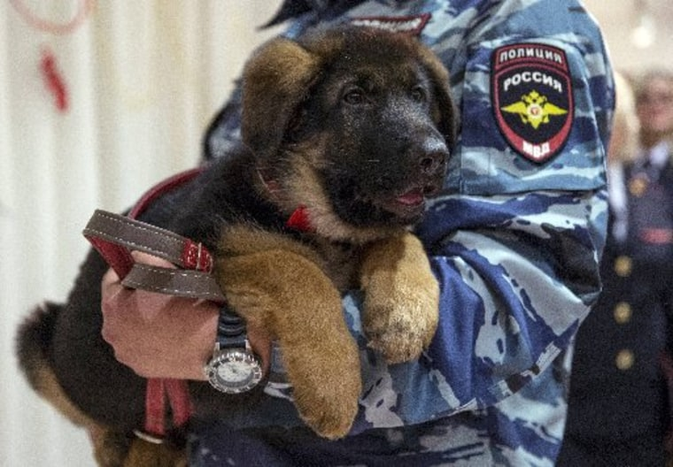 A Russian police officer holds a puppy named Dobrynya before presenting it to French police in the French Embassy in Moscow on Dec. 7, 2015.