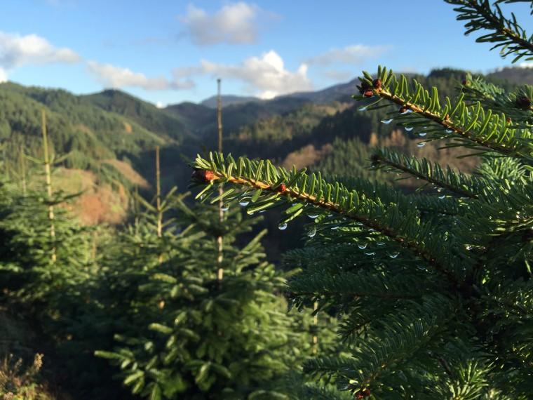 Image: Christmas tree farm in Germany