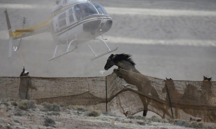 Image: Several wild horses escape as a helicopter is used by the Bureau of Land Management (BLM) to gather wild horses into a trap south of Garrison, Utah