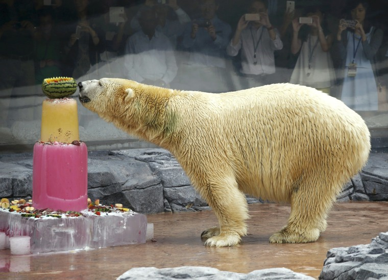 Image: Inuka, the first polar bear born in the tropics, enjoys an ice cake during its 25th birthday celebrations at the Singapore Zoo