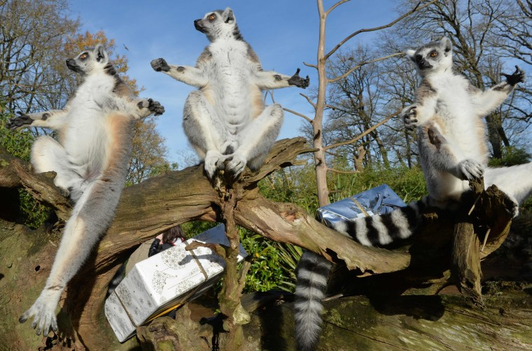 Image: TOPSHOT-FRANCE-ANIMALS-ZOO-CHRISTMAS-LEMUR-FEATURE