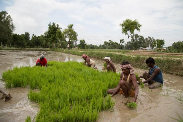 Rice paddy fields in the Terai region of Nepal.