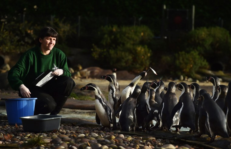 Image: A zoo keeper poses with Humboldt penguins