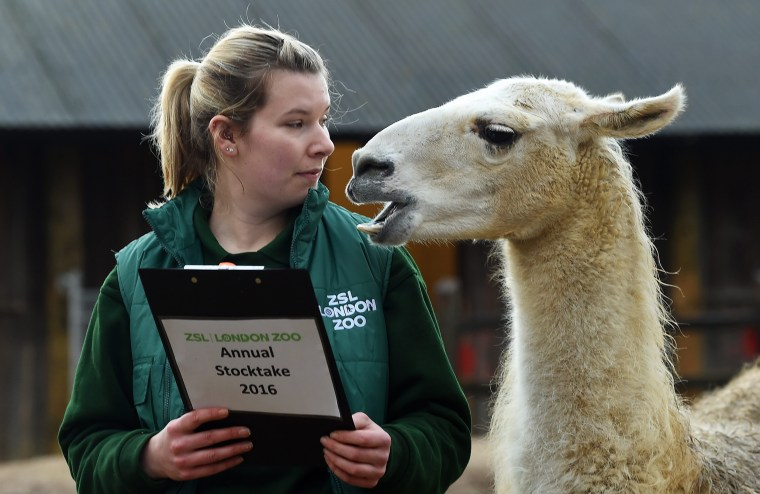 Image: A London Zoo staff member with a Lama