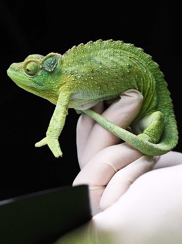 Image: A London Zoo staff member holds a chameleon