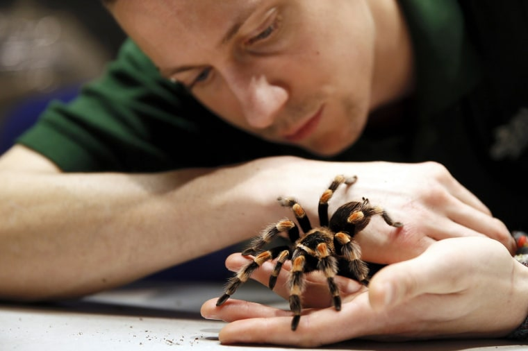 Image: Keeper Jamie Mitchell poses with a Mexican Red-Kneed Tarantula