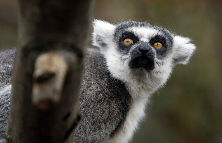 Image: A ring-tailed lemur