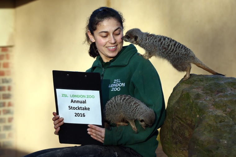 Image: Zookeeper Veronica Heldt poses for a photograph as she counts meerkats