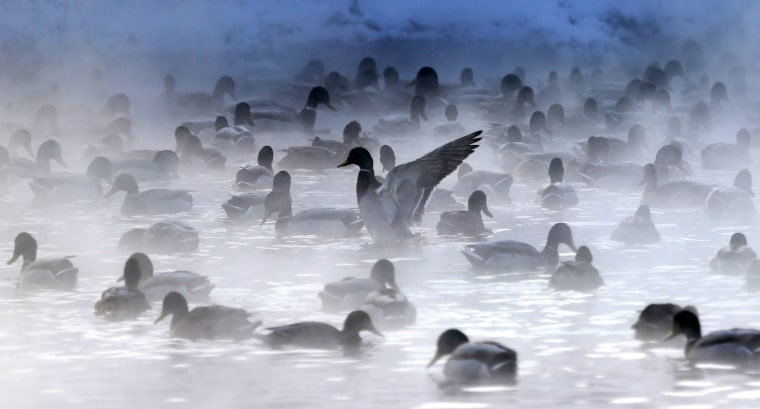 Image: A duck flutters its wings while others float in the relatively 'warm' waters of a steaming pond
