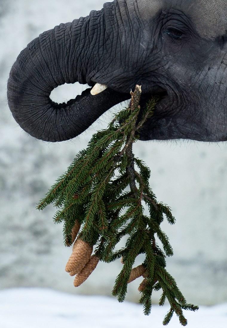Image: Elephants eat a Christmas tree in Vienna