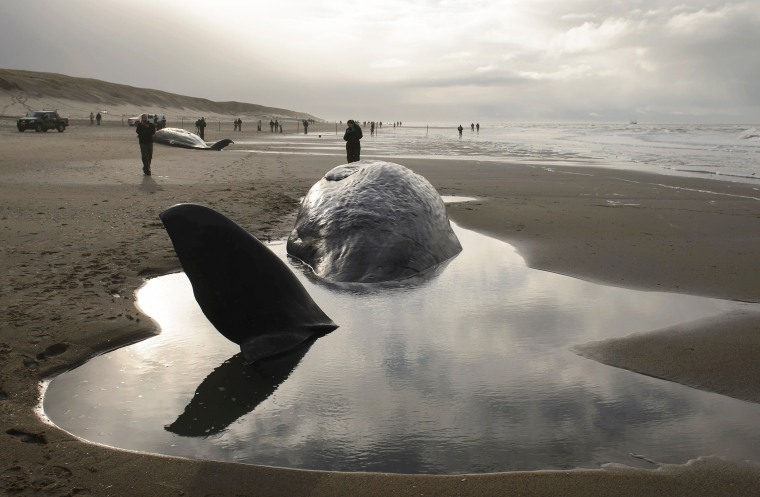 Image: TOPSHOT-NETHERLANDS-ANIMAL-WHALES-ENVIRONMENT