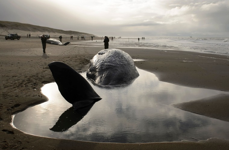 Image: People stand near beached sperm whales after they became stranded on the Dutch island of Texel