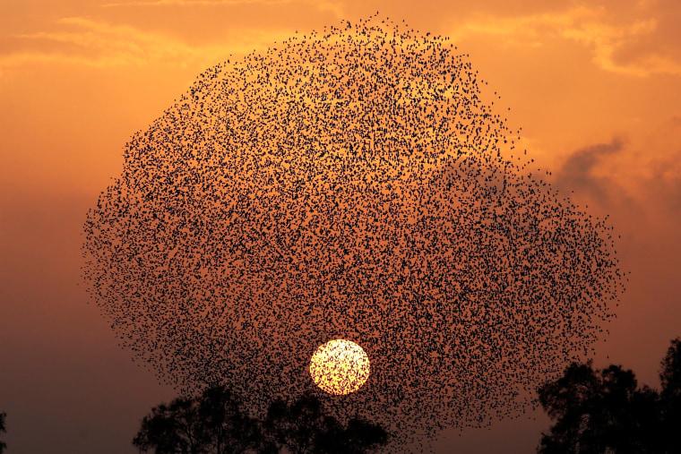 Image: Flock of starlings in southern Israel