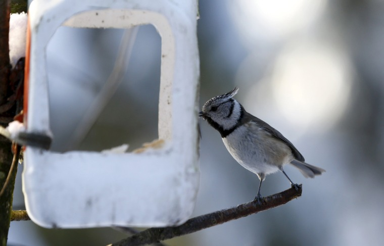 Image: Crested tit is seen at an improvised feeder in a forest on the outskirts of of Minsk
