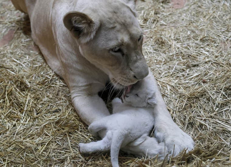 """Image: A white lioness and one of her three cubs are seen at a private zoo called \""""12 Months\"""" in the town of Demydiv, Ukraine"""