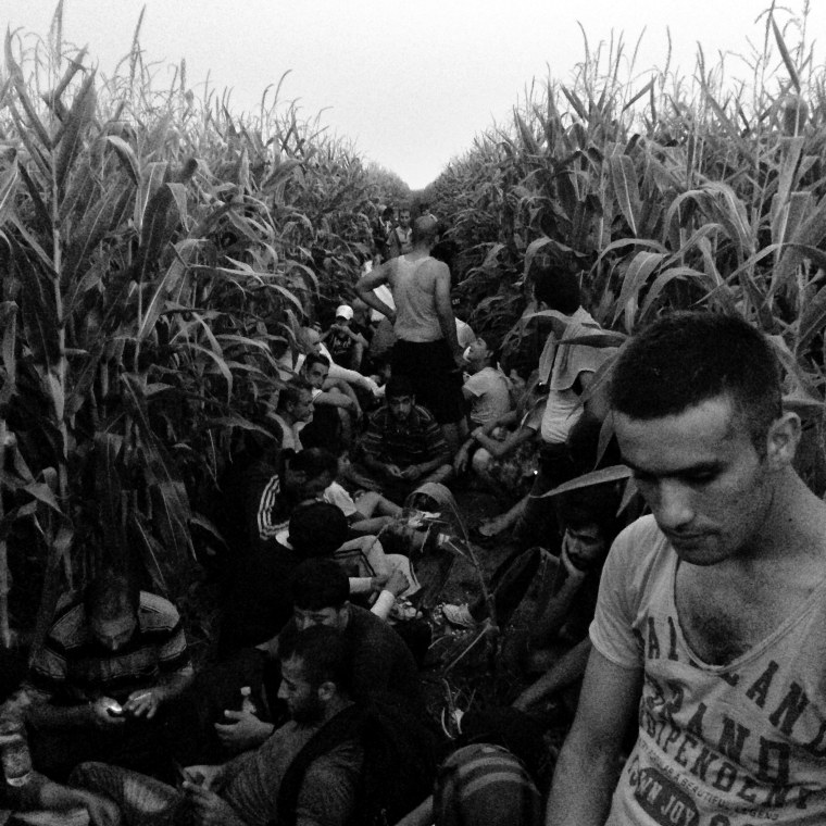 Image: A group of Syrians hide in a corn field feet away from Serbia's border with Hungary