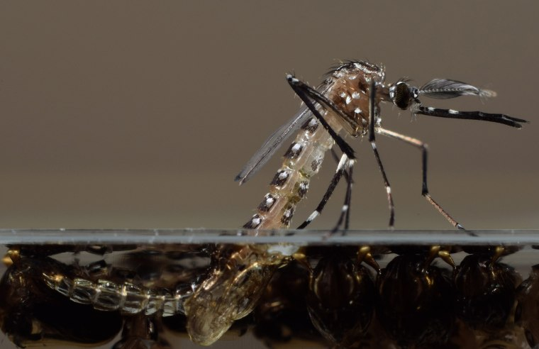 Image: Genetically modified Aedes Aegypti mosquito pupae emerge