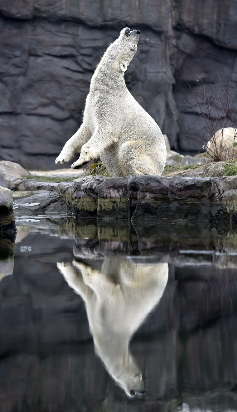 Image: A polar bear enjoys the cold winter weather at the zoo