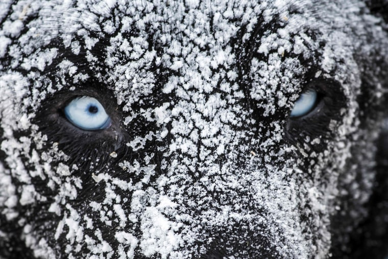 Image: A sledding dog is covered in ice after spending the night in the open air