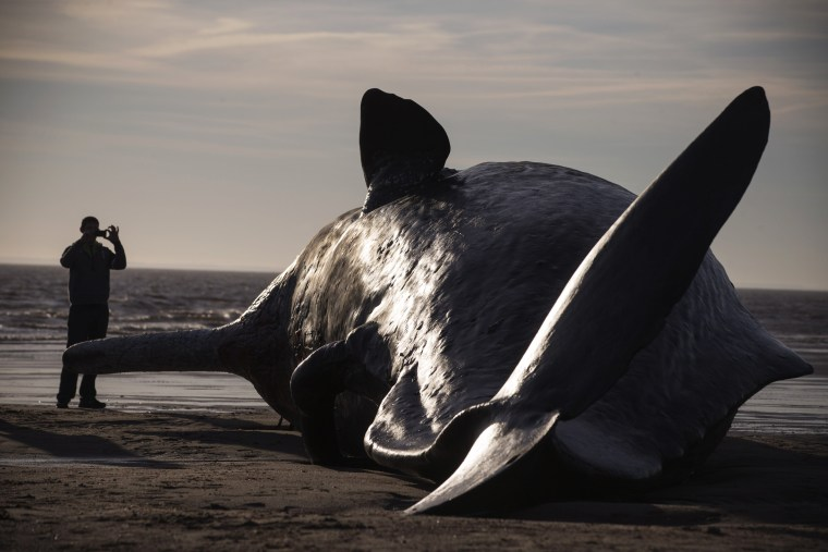 Image: A sperm whale was found beached near Skegness, England