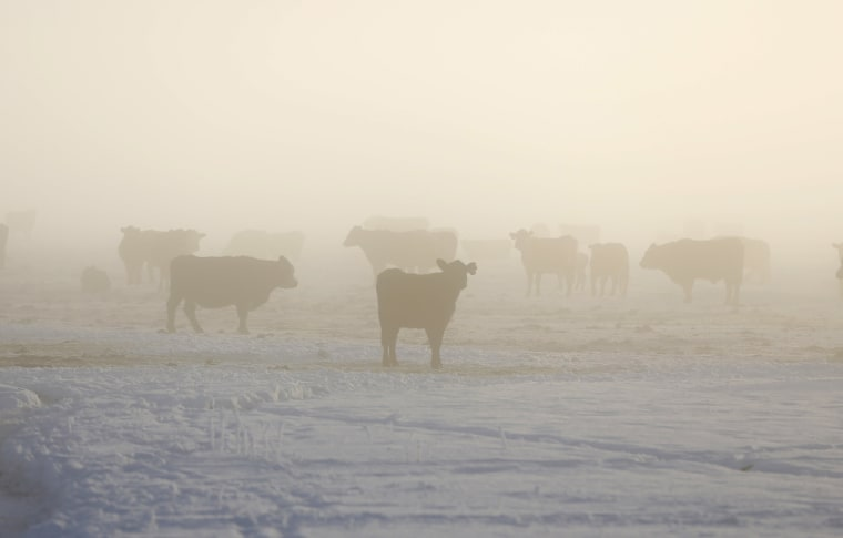 Image: Cattle in the fog on a ranch near Burns as the occupation continues at the Malheur National Wildlife Refuge near Burns, Oregon