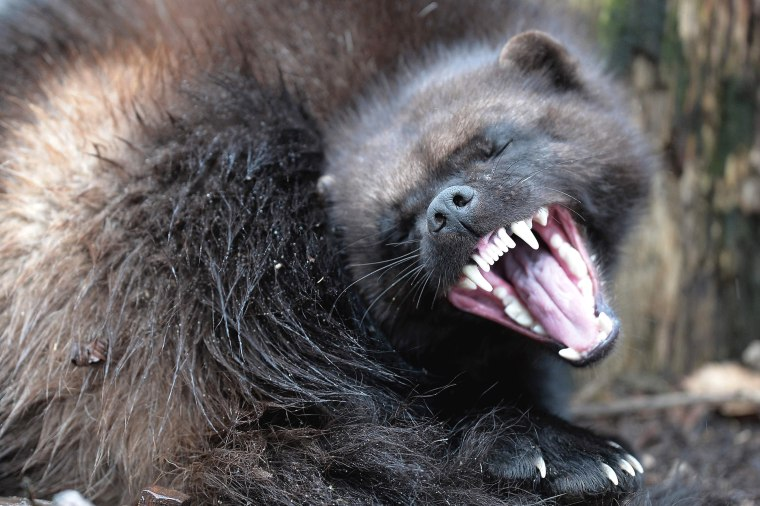 Image: TOPSHOT-FRANCE-ANIMALS-WOLVERINE
