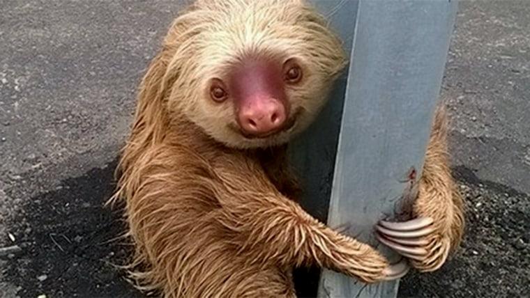 Sloth stops traffic in Ecuador
