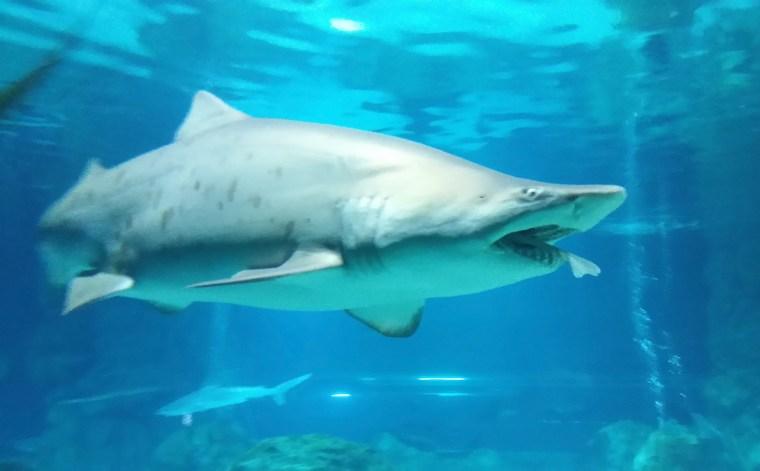 Image: Female Shark Eats Male Shark At Aquarium In Seoul