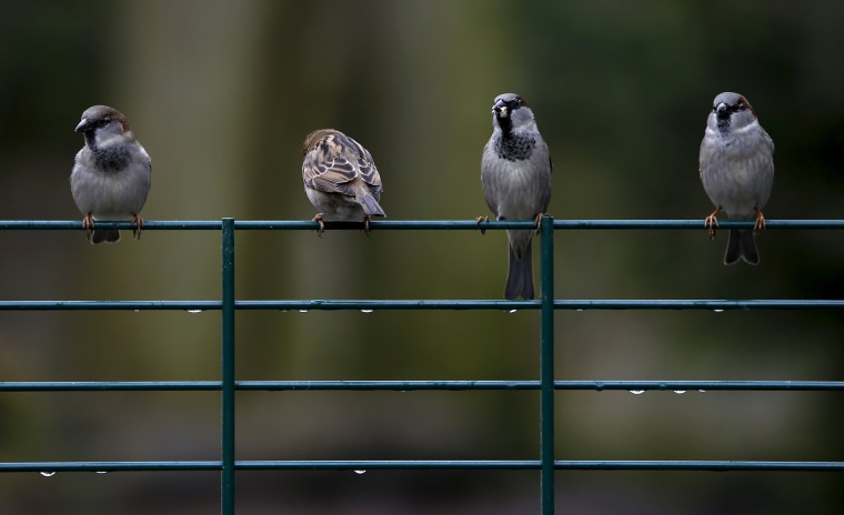 Image: House sparrows are seen during a rainy day in Augsburg's zoo