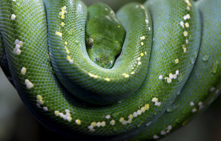 Image: Green Tree Python rests in zoo of Augsburg