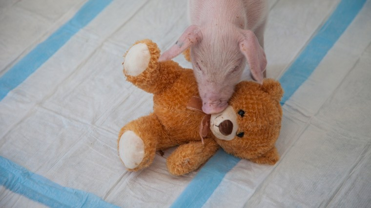 Image: Family Rescues Piglet From Side Of Road During Blizzard