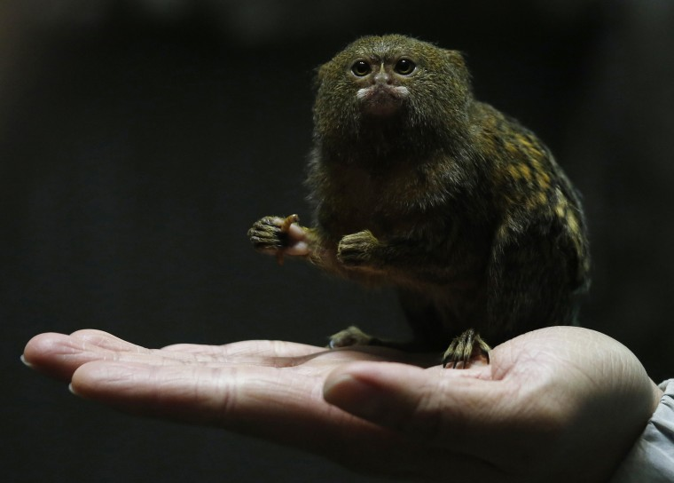 Image: Hong Kong Ocean Park worker poses with a pygmy marmoset, the world's smallest monkey, in Hong Kong