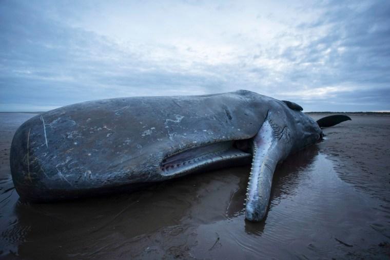 Image:sperm whale