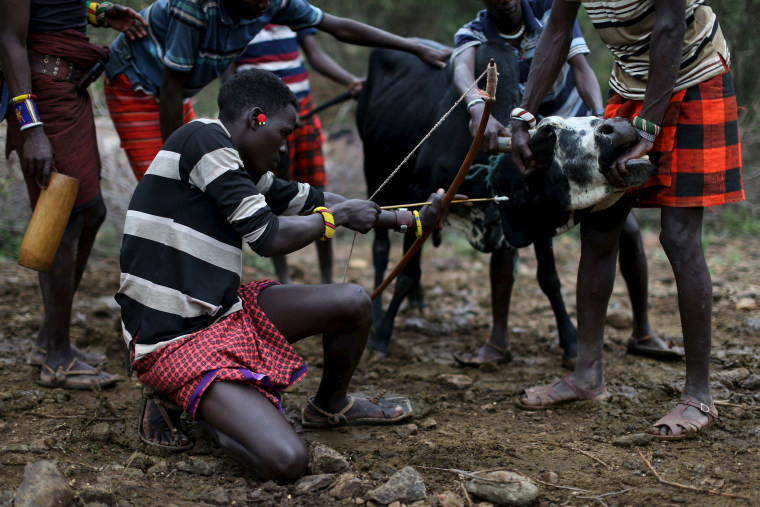 Image: Young Pokot men restrain a bull as another prepares to shoot an arrow with a shallow point into its neck