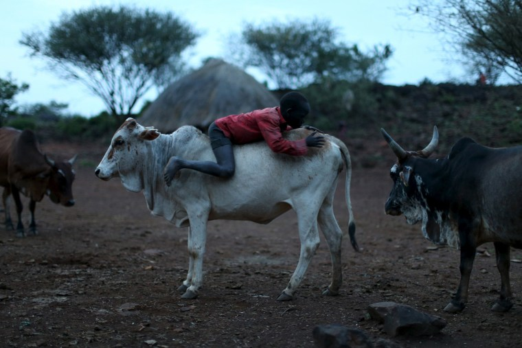 Image: A boy climbs on the back of a cow near his home