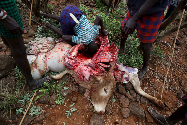 Image: Men take it in turns to drink clotted blood from inside the carcass of a bull which was speared by a young man