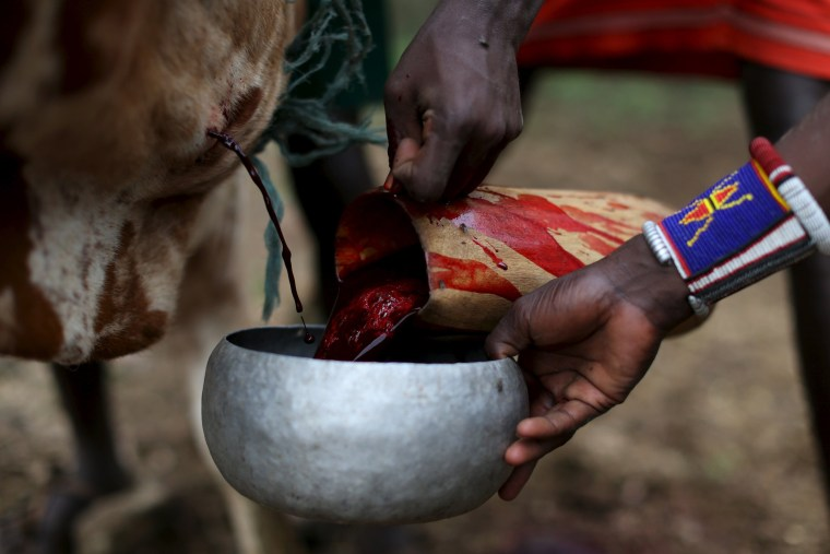 Image: Young Pokot men collect blood pouring out the neck of a bull