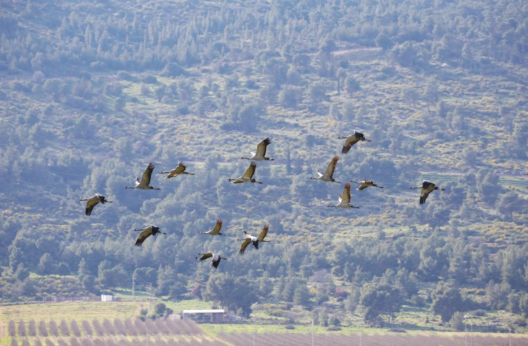 Image: Hula Cranes Flying